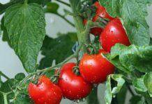 Sok pomidorowy a odchudzanie