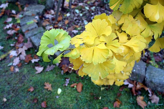 Miłorząb japoński jako drzewo, fot. Pixabay.com